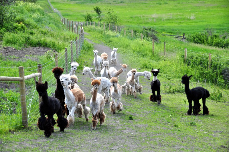 Is an employee on an alpaca farm entitled to the minimum wage in Ontario?