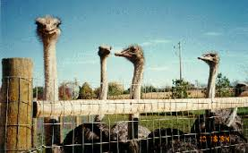 A ratite is a large flightless bird, like an emu or ostrich